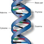 The genetic code is universal. All species use the same DNA triplets to specify the same amino acids.