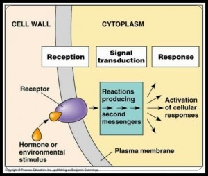 A signaling schematic (but not human due to cell wall).