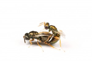 Nasonia vitripennis, mating (Elizabeth Cash and Josh Gibson)