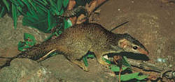 Tree shrew (wikispecies)