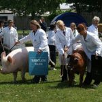 Judging_of_Best_Pig_in_Show