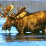 Wading_moose