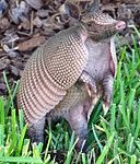 Armadillo-Florida-crop-2009