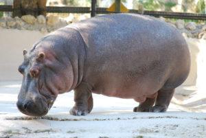 Hippopotamus_amphibius_-_Homosassa_Springs_Wildlife_State_Park,_Florida_-_2010-01-13