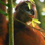 1024px-Kutai_Orangutan_2008