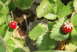 """In 1987 strawberry plants sprayed with """"Frostban"""" bacteria that had had genes removed struck fear as the first GMO."""