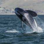 Orca,_Killer_Whale,_breaching_-_Morro_Bay,_CA_May_8,_2014_Orcinus_orca (1)