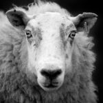 1920px-Ewe_sheep_black_and_white
