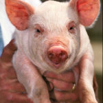 Pig_USDA01c0116