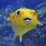 Spotted_Pufferfish_Arothron_meleagris_02