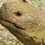 African_Spurred_Tortoise_(Centrochelys_sulcata)_male_(9177484050)
