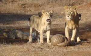 The pangolin's armor frustrates these hungry lions