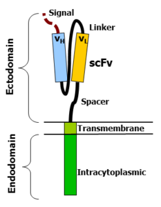 A chimeric antigen receptor (CAR)